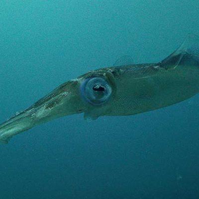 Squid - Diving in Akumal, Riviera Maya