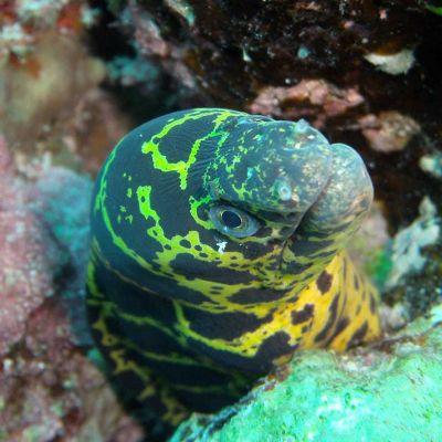 Green eel in coral reef - Diving Akumal
