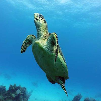 Turtle watching Riviera Maya Diving