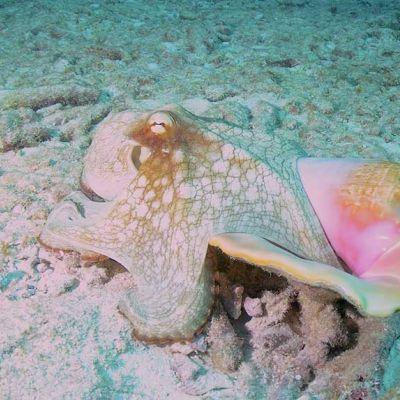 Octopus - Ocean Diving Riviera Maya