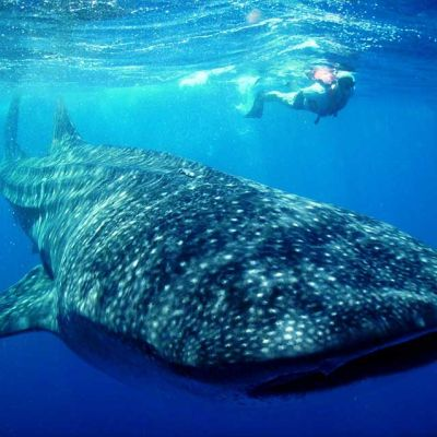 Whale Shark near Cancun, Mexico