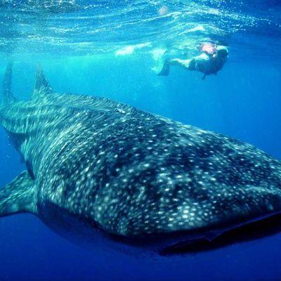 Tiburón ballena cerca de Cancún, México