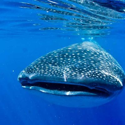 Face to face with Whale Shark near Cancun, Mexico