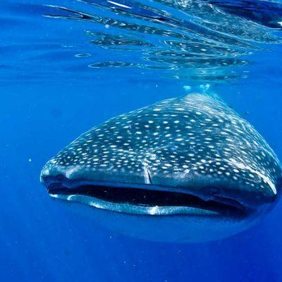 Cara a cara con el tiburón ballena cerca de Cancún, México