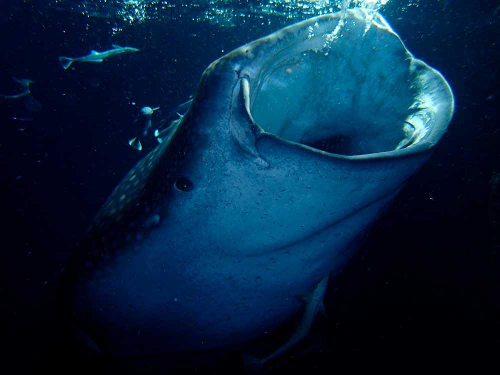 Tiburón ballena abriendo la boca cerca de Cancún, México