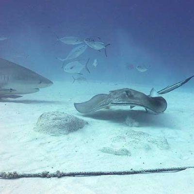 Bull Sharks and ray - Diving Tour - Playa del Carmen, Mexico