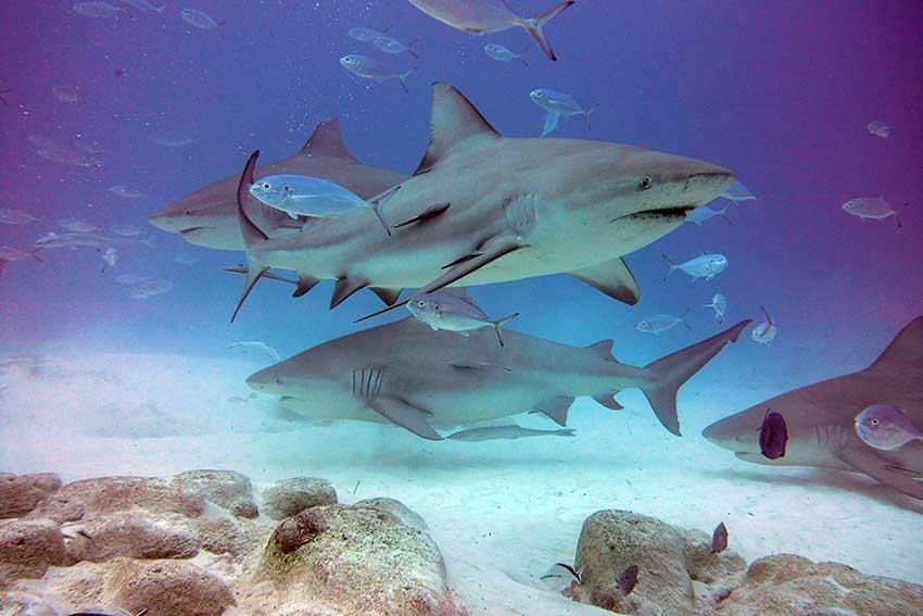Tiburones toro y peces - Tour de buceo - Playa del Carmen, México