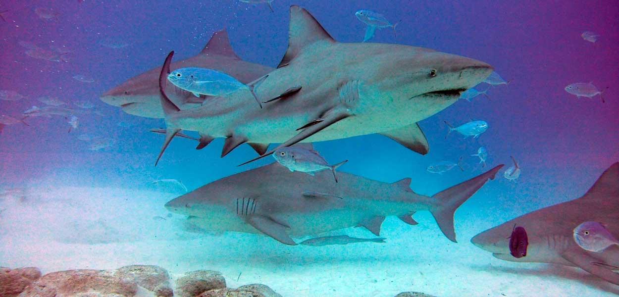 28-bull-sharks.jpg