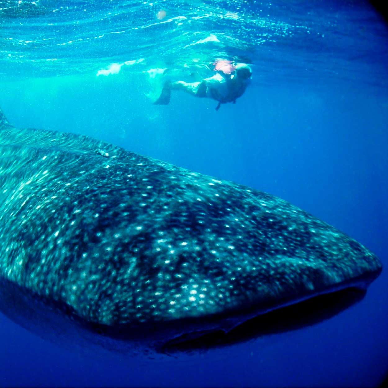 32-whale-shark.jpg