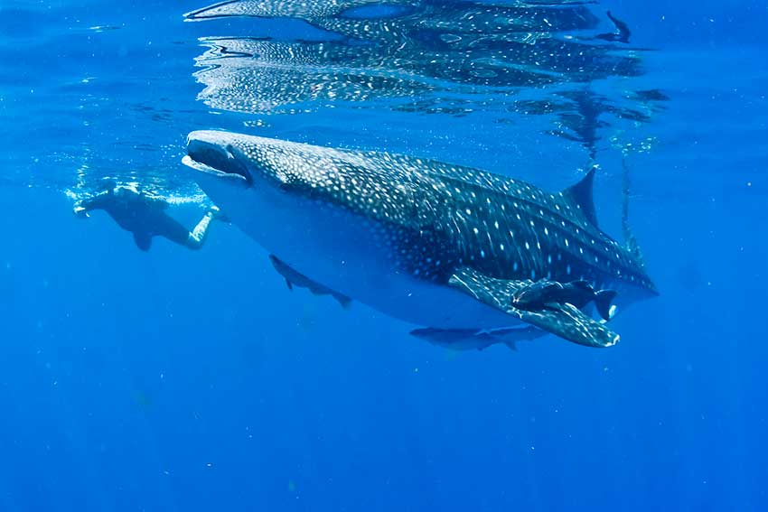 whale-shark-g-06.jpg