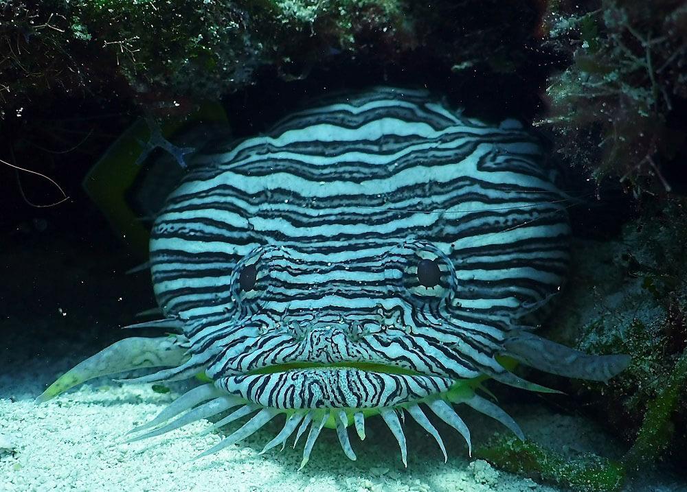 splendid-toadfish-riviera-maya.jpg