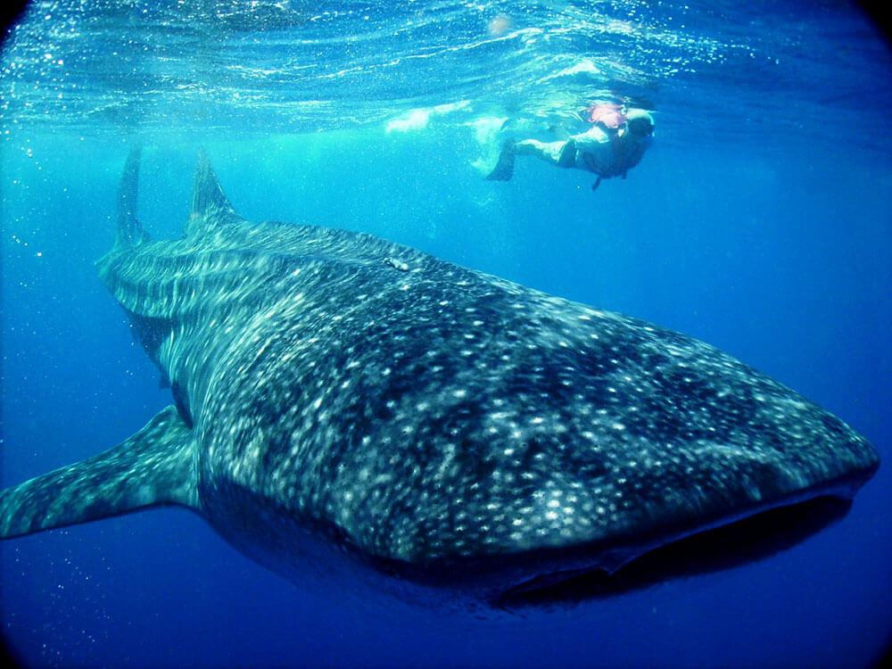 whale-shark-holbox-tour.jpg