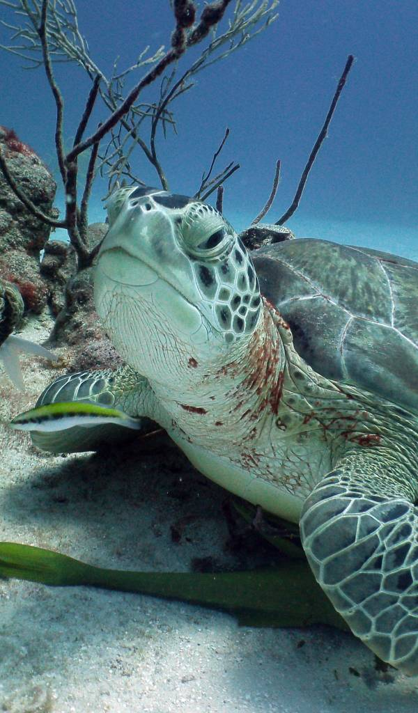 The Impressive Marine Life of the Riviera Maya - Turtle Akumal